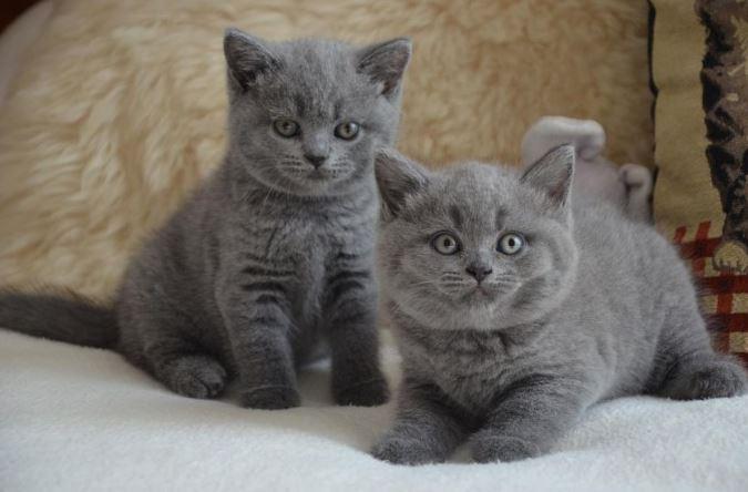 Chaton et chat de race