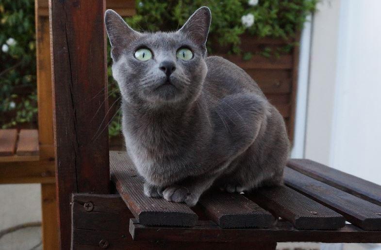 Chat bleu gris - Le Korat
