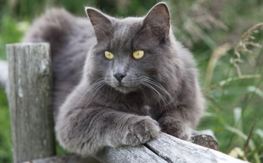 Chat bleu gris - Nebelung