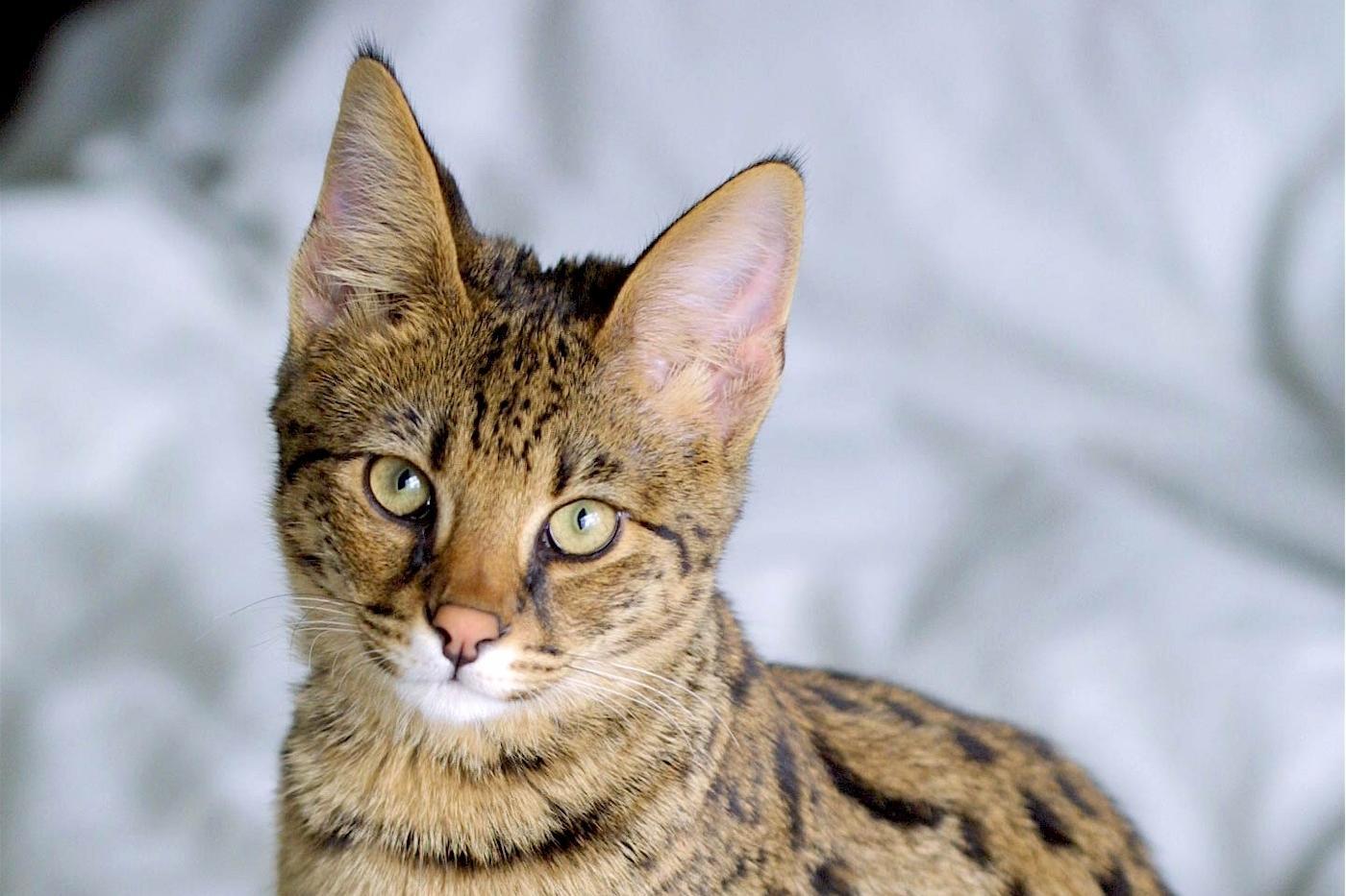 Savannah chaton et chat de race - Loi sur les chats et le voisinage ...