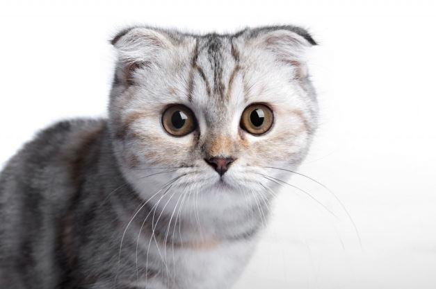 Chat gris et blanc n°2  Le Scottish Fold
