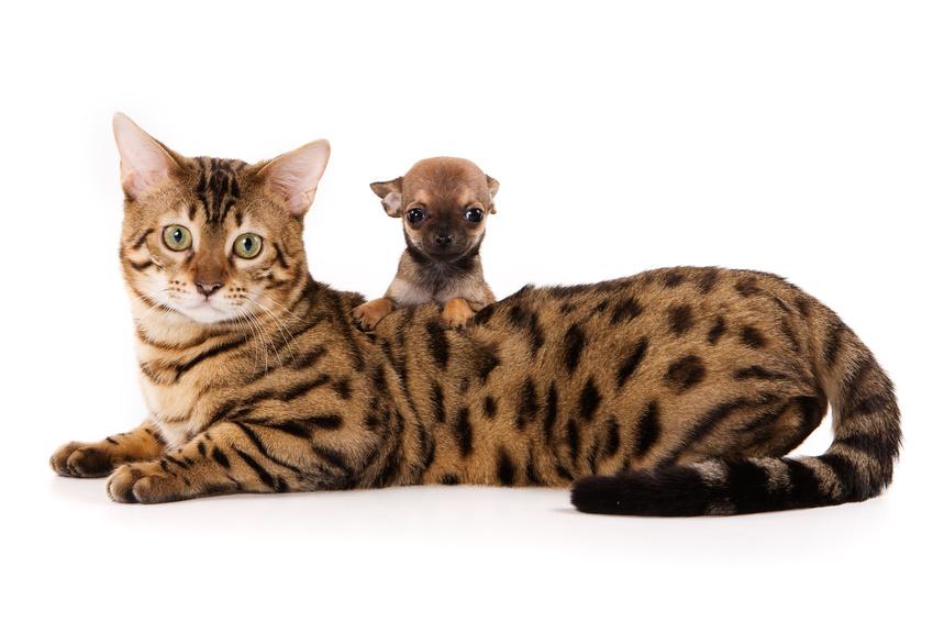 Bengal chaton et chat de race - Chat du bengal gratuit ...