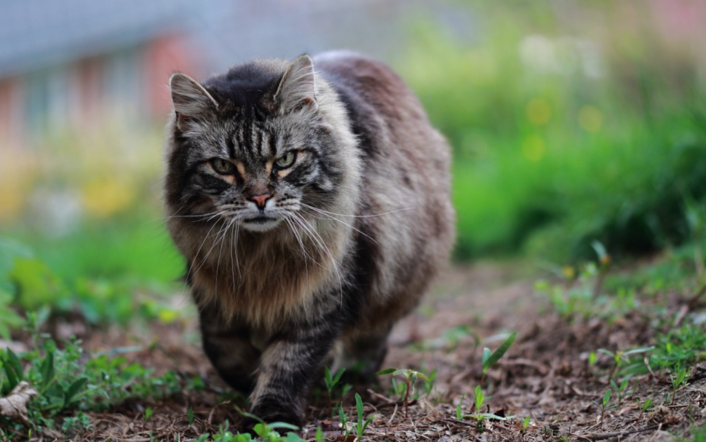 kurilian-bobtail-chaton