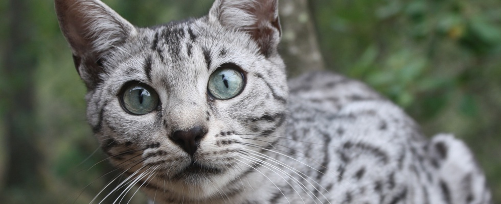 """Résultat de recherche d'images pour """"chat gris clair tacheté"""""""